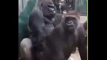 คลิปโป๊คิงคองเย็ดกันเปลี่ยนแนวจากคนเอากัน มาเป็นลิงล่อกัน สัตว์มันก็เงี่ยนอยู่นะ ล่อเย็ดท่าหมาด้อกกี้สไตล์